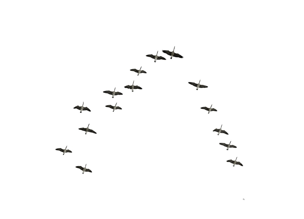 Follow the leaders Flock of Canadian geese flying in an imperfect V formation, isolated on white